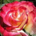 Rózsák 3