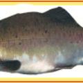 Legnépszerűbb lazackaviár fajták