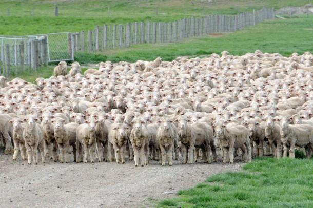 New-Zealand-Sheep-610x406.jpg