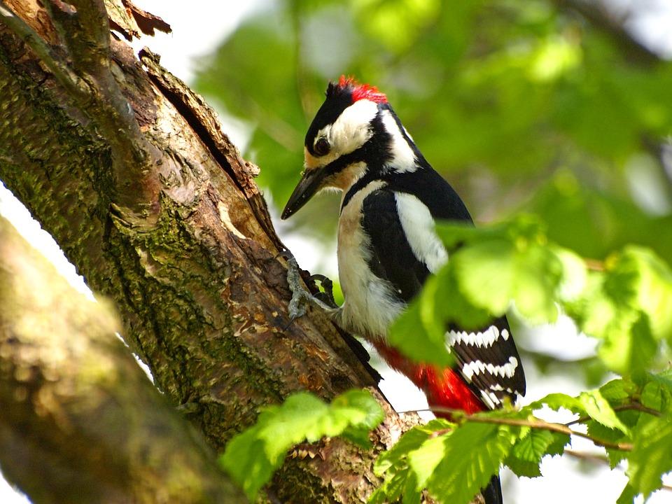 great-spotted-woodpecker-2772197_960_720.jpg