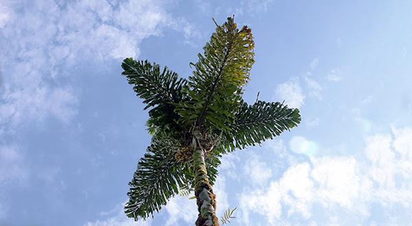 socratea_exorrhiza_600x330.jpg