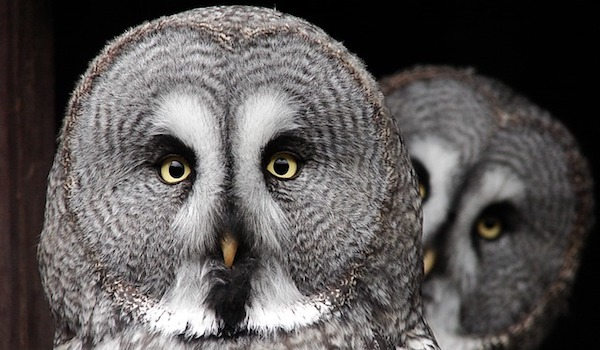 the-great-grey-owl-2762192_640.jpg