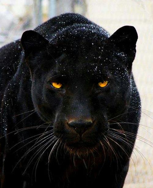 Fekete puma állat képek