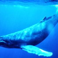 Keressük meg Humpbackwhale-t!