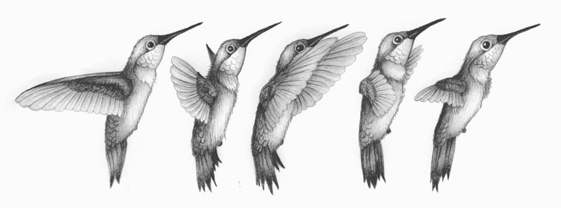 hummingbird_drawing-1.jpg