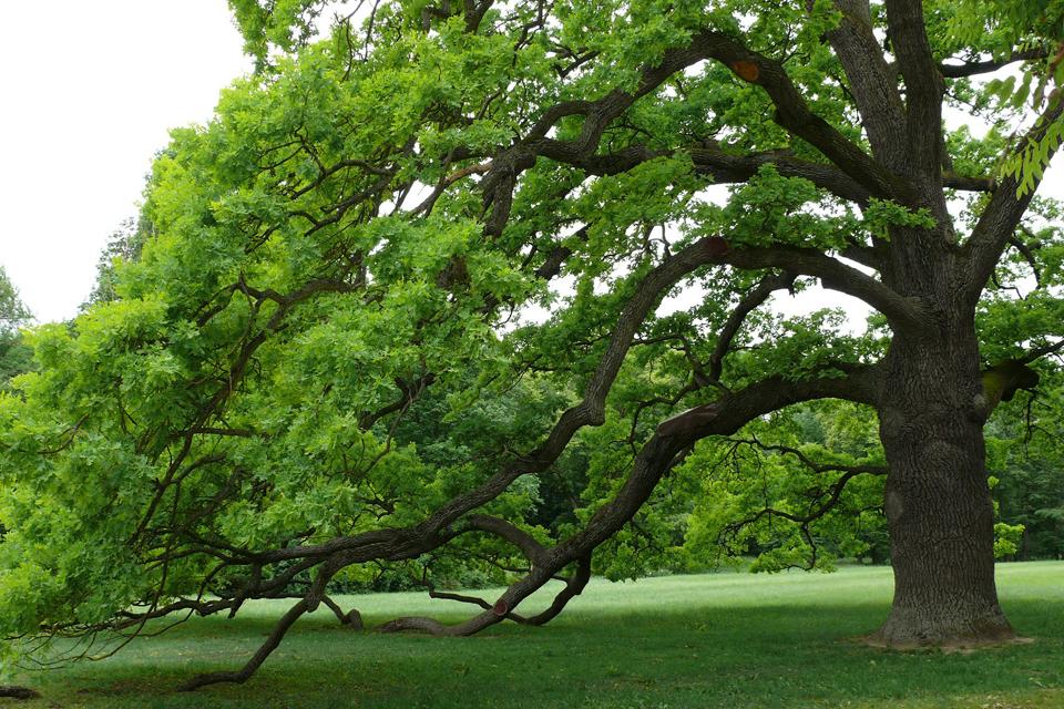 A tölgyfa (tanmese)