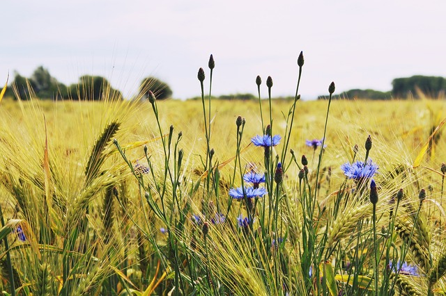 barley-1467530_640.jpg