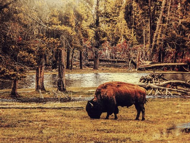 bison-1931967_640.jpg