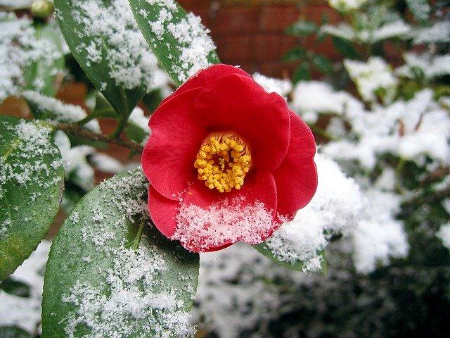 camellia-4813040_640.jpg