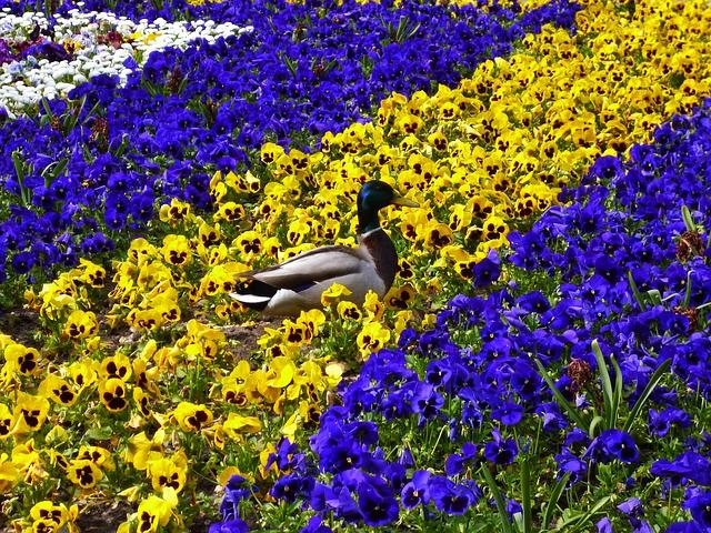 duck-114296_640.jpg