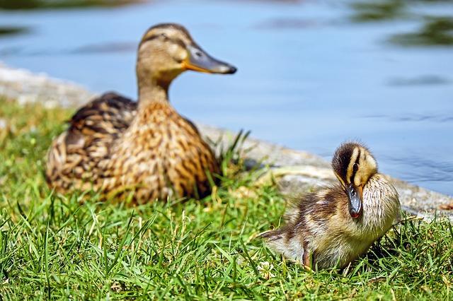 duck-1569575_640.jpg