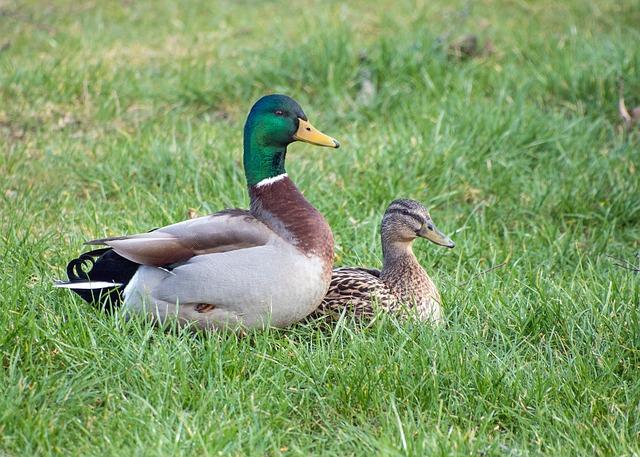 duck-2140807_640.jpg