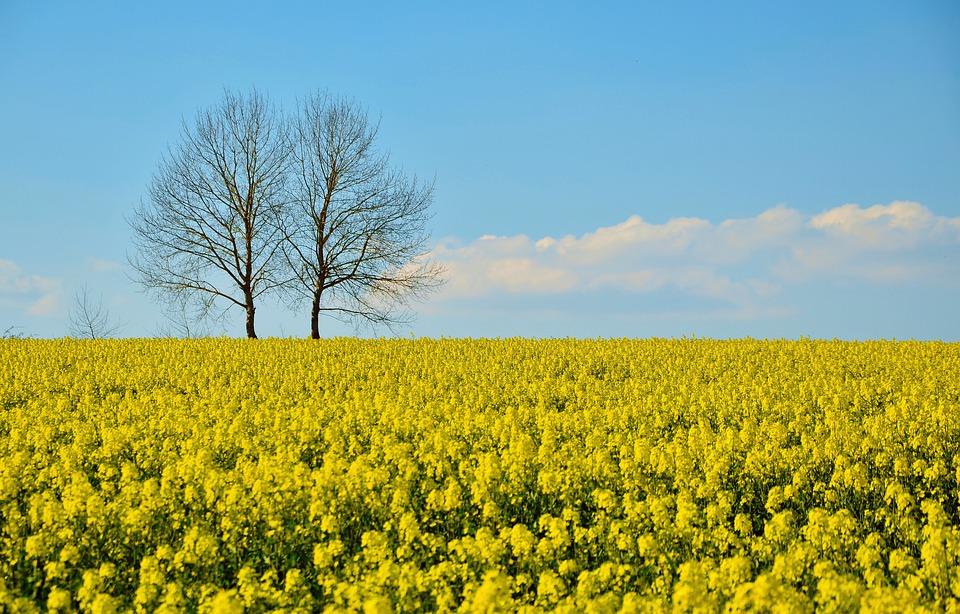 field-of-rapeseeds-3061165_960_720.jpg