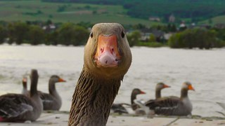 goose-178143_180.jpg