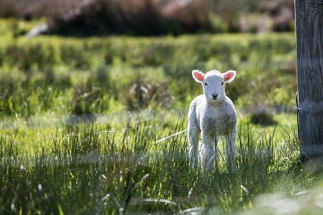 lamb-1081950_640.jpg