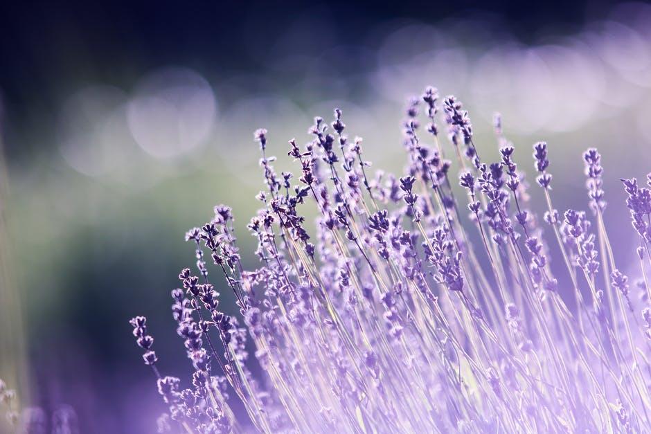 lavender-286763.jpeg