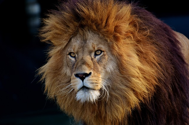 lion-3040797_640.jpg