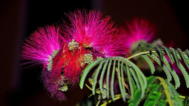 mimosa-1288627_640.jpg