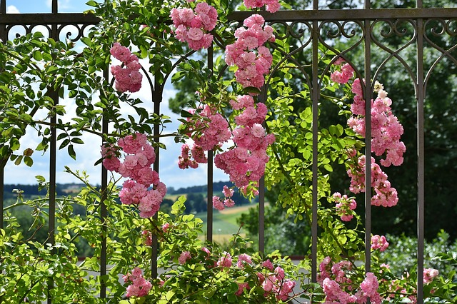 rose-2456080_640.jpg