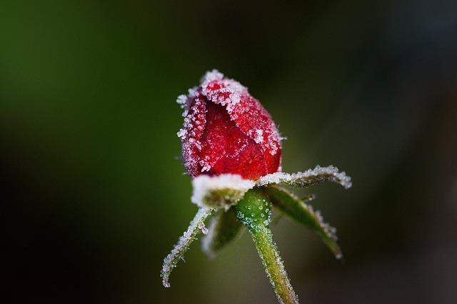 rose-3821799_640.jpg