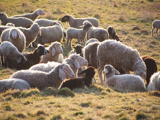 sheep-1350688_640.jpg