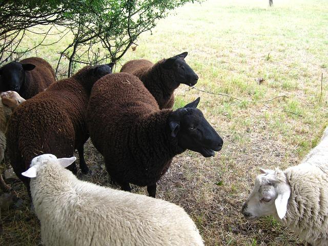 sheep-196287_640.jpg