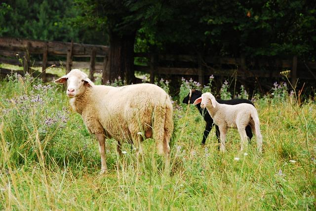 sheep-2649409_640.jpg