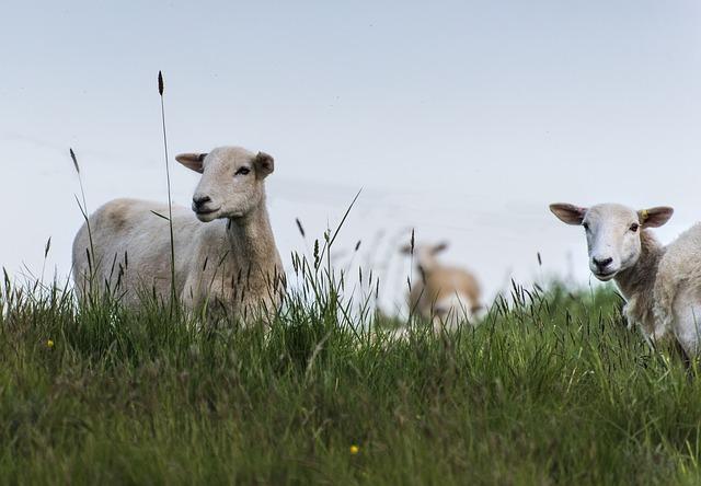 sheep-3709096_640.jpg