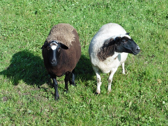 sheep-612919_640.jpg