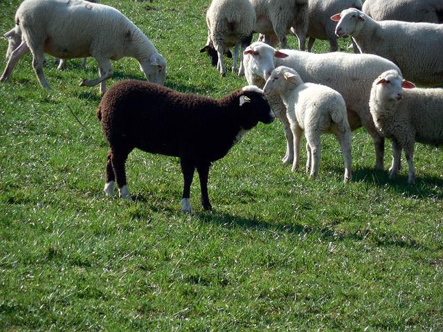 sheep-730074_640.jpg