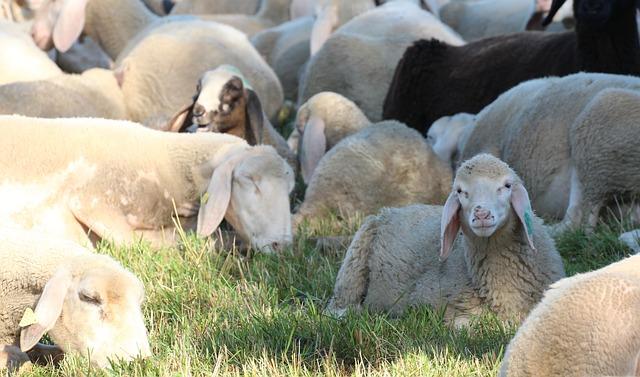 sheep-heads-2517469_640.jpg