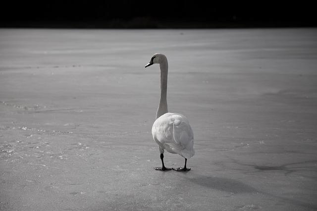 swan-3447044_640.jpg