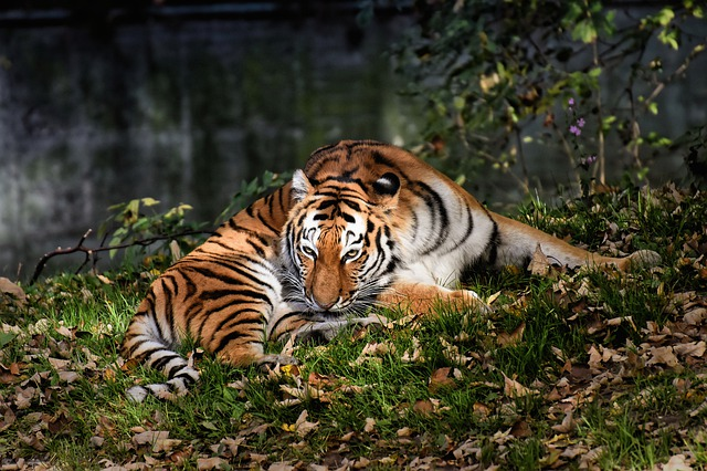 tiger-4419674_640.jpg
