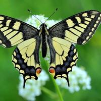 Legyen a 2017-es év rovara a Fecskefarkú pillangó!