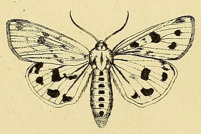 Rhyparioides_metelkana.jpg