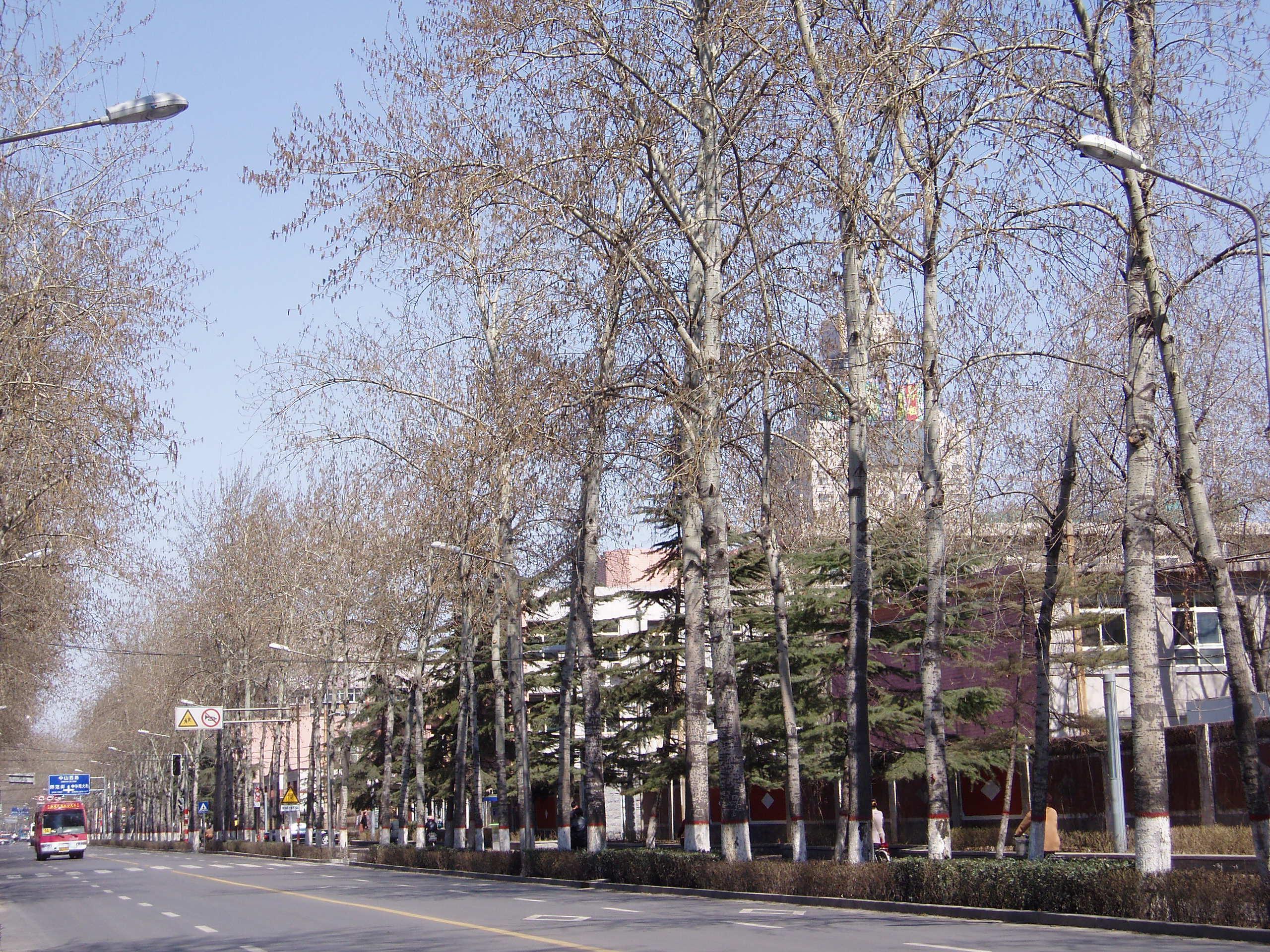 populuscanadensis2.jpg