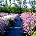 levendula kertészet
