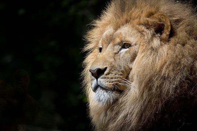 lion-1118467_640.jpg