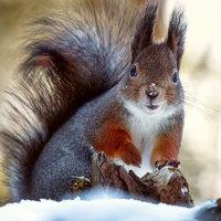 A 10 legviccesebb fotó a mókusok téli életéről