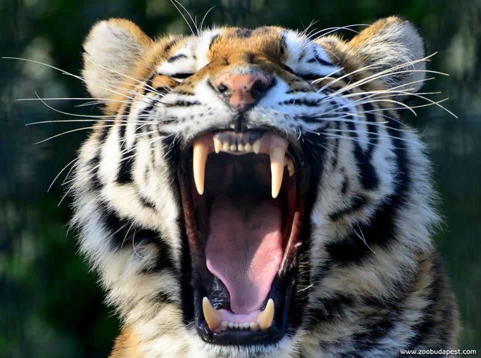 ásító tigris