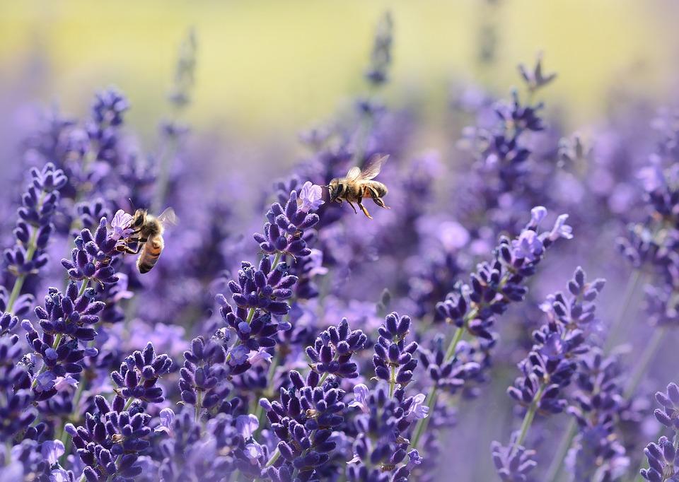 lavender-1537694_960_720.jpg