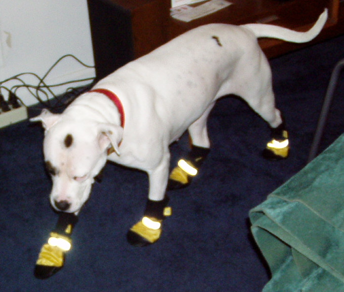 dog-with-booties.jpg