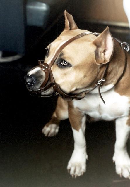 dog-with-muzzle.jpg