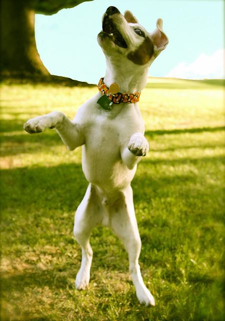 jumping-terrier.jpg