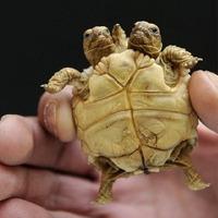 Sziámi teknős