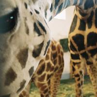 Micsoda szép zsiráf kép