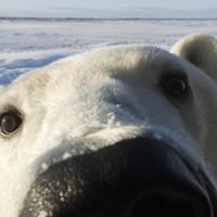 Polar Not Watch But Bear