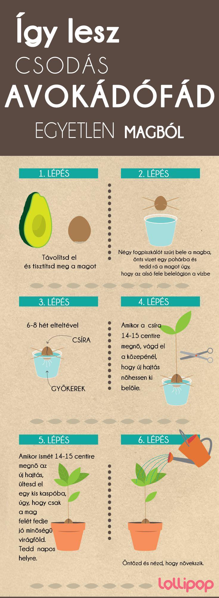Így lesz csodálatos avokádófád egyetlen magból