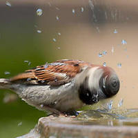 Madár fürdetés