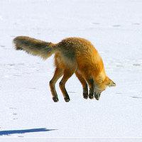 Ugráló róka